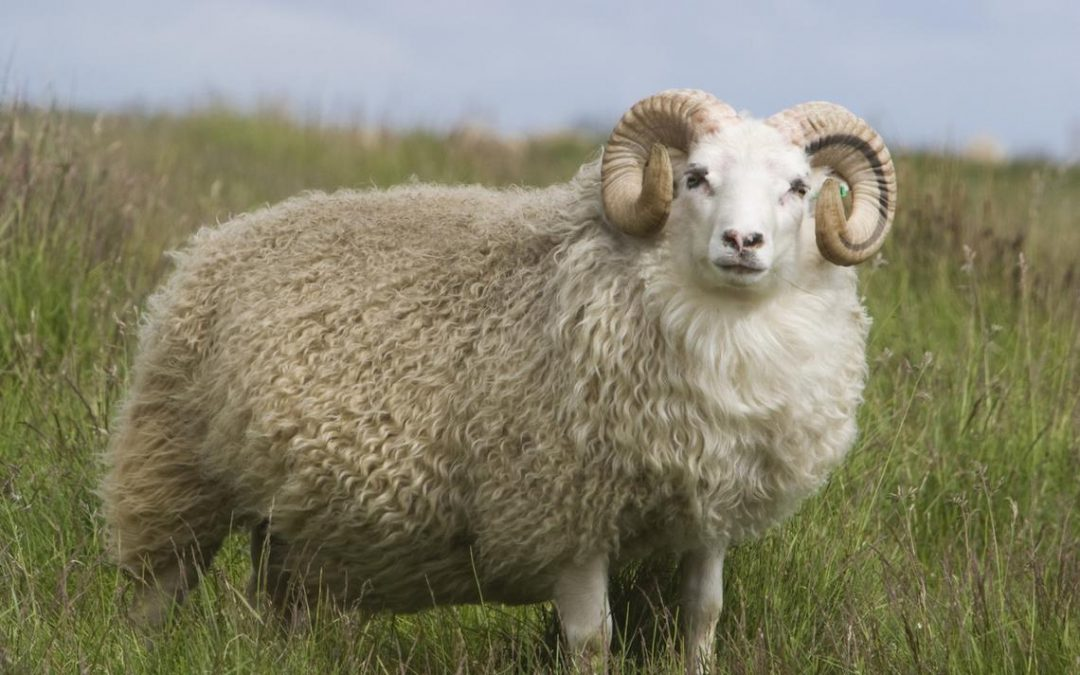 Eid ul-Adha Slaughter – How and Why